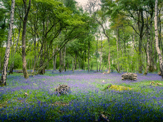 Fotobehang Bossen A carpet of bluebells across a woodland floor in spring in the UK