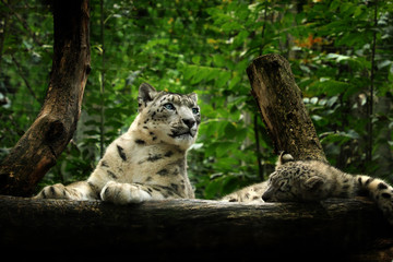 Wall Mural - Snow leopard on the rock ( panthera uncia, uncia uncia)