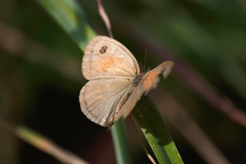 Meadow Brown Butterfly (maniola jurtina) With Broken Wing Perched On Grass Blade
