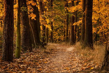 Beautiful autumn scene. Path leading among trees. Colorful leaves lit by setting sun. Warm tones, lovely atmosphere. Nature at its best. Amazing indian summer. Fallen leaves. Best time of the year.