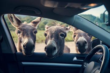 Three funny donkeys curiously looikng to the car