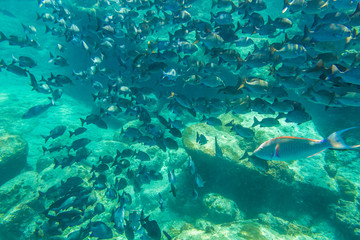 herd of fish on the seabed of the popular Similan Islands in Thailand, one of the tourist attraction of the Andaman Sea.
