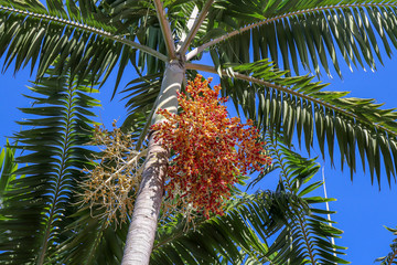 Montgomery palm with yellow and orange fruit cluster
