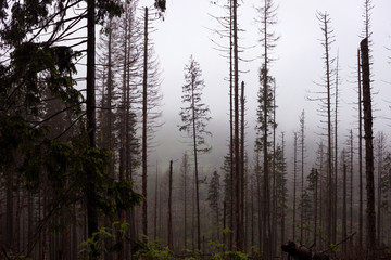 Strong fog in the forest in the mountains, pine trees and old trees in bad weather, background
