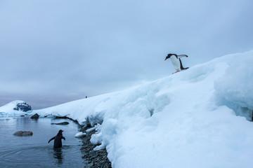 Penguins playing on iceberg, Antarctica