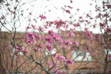 Pink flowers on a tree, with building background in Puerto Madero streets, Buenos Aires, Argentina