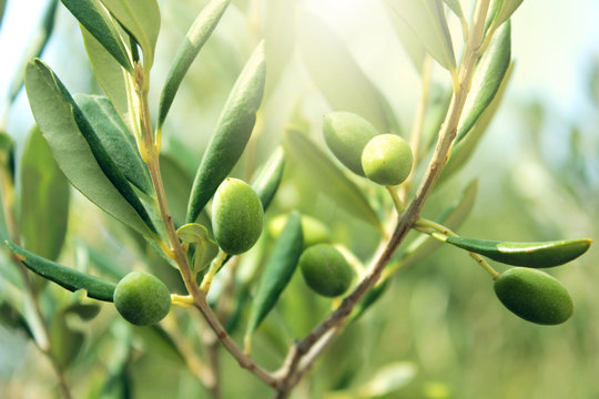 Olive branch close up
