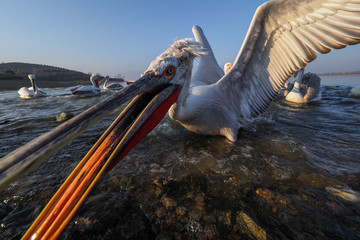 Flock of dalmatian Pelican,   Pelecanus crispus catching fish