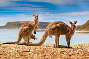 Deurstickers Kangoeroe kangaroos with joey on the beach