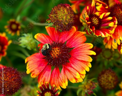 Bee On Red Flower With Yellow Tips Stock Photo And Royalty Free
