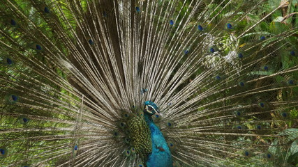 The Indian peafowl or blue peafowl, a large and brightly coloured bird, is a species of peafowl native to South Asia, but introduced in many other parts of the world