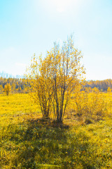 Yellow leaves bush on the field in sunny autumn day