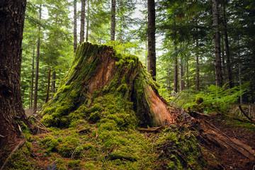 Old stump in rainforest