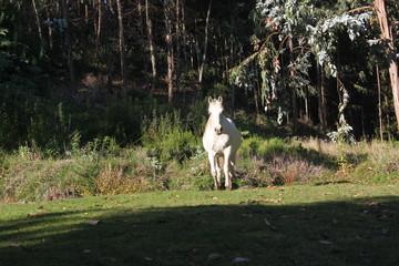 Caballo blanco al galope