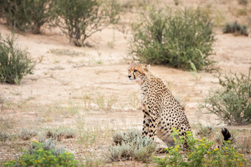 Adult cheetah staring at prey in the distance.