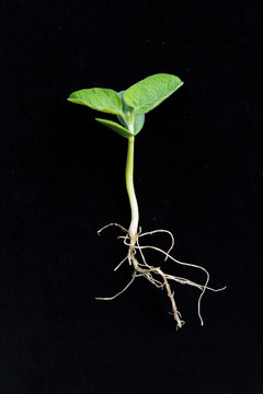 soybean at VC stage - cotyledons and unifoliate leaves fully expanded