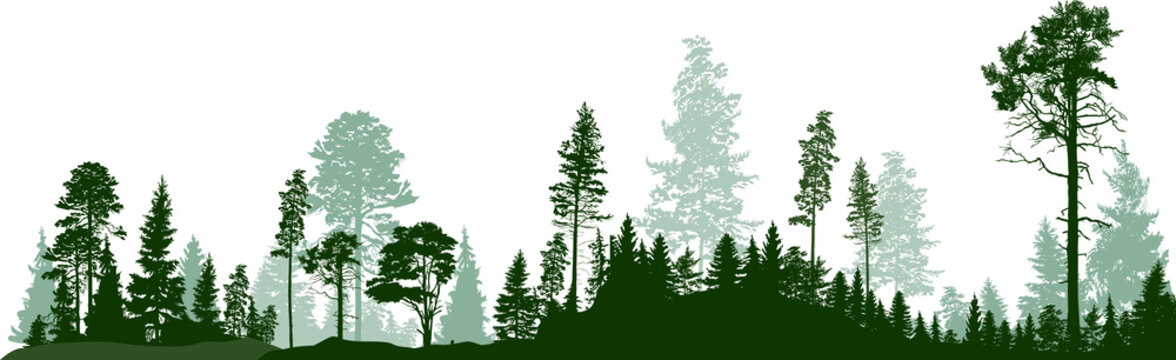 panorama of high green fir trees forest on white