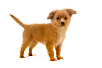 pomeranian dog fluffy cute puppy