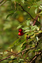 Rosehips in the forest