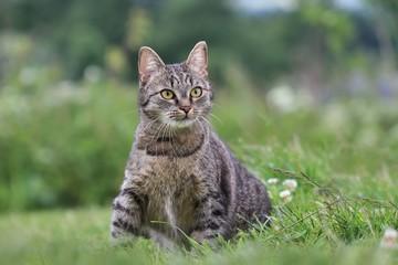 Beautiful tabby cat sitting in the grass . Felis silvestris