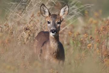 cute roe standing in dry grass. Wildlife scene from nature. portrait of doe, deer.