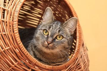 Nice tabby cat lying in a basket. Felis silvestris catus. Portrait of a tabby cat.