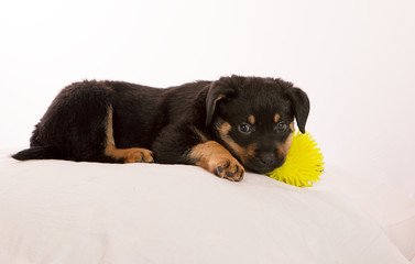 Rottweiler Puppy laying on white cushion with a toy