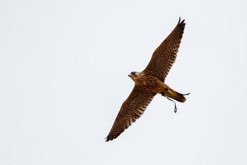 Halcón peregrino en vuelo. Falco peregrinus.