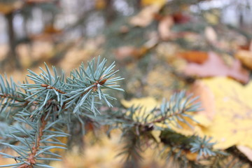 fir tree on a background of trees with yellow leaves. Autumn colors.