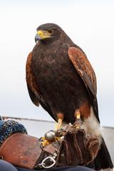 Águila harris sobre el guante. Parabuteo unicinctus. Ave rapaz para cetrería.