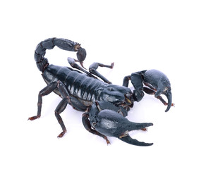Scorpion of a white background.