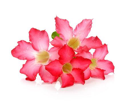 Tropical flower Pink Adenium. Desert rose on isolated white background