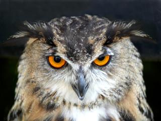 PORTRAIT OF EAGLE OWL ON BLACK BACKGROUND IN CLOSE UP Fototapete