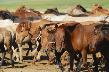Herd of the young wild Mongolian horses in steppe in Kharkhorin, Mongolia.