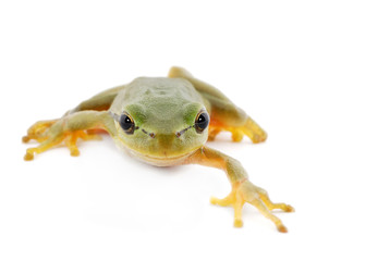 Green tree frog isolated on white background