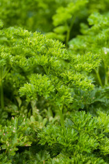 closeup of parsley leaves in a vegetable garden