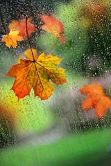 Herbstlaub am Fenster mit Regentropfen
