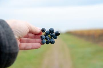 Weintrauben in Hand