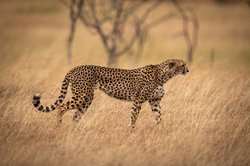 Cheetah prowls past trees in long grass