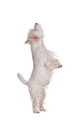West highland terrier standing on hind legs against white background