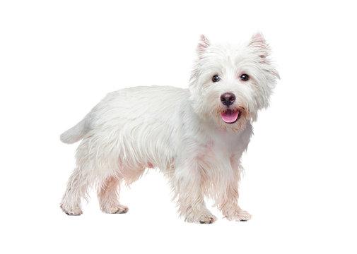 White west highland terrier puppy against white background