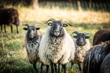 Familienfoto einer Schafherde vor unscharfem Hintergrund