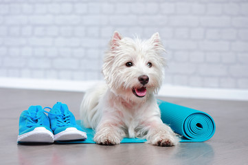 West highland terrier laying next to blue fitness accessories