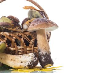 forest fresh natural mushrooms boletus on white