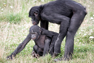 Bonobo s'occupe de son petit