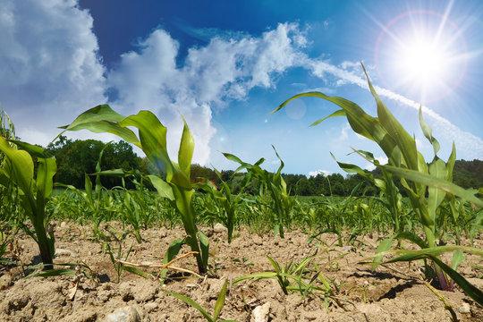 angebauter Mais bei Dürre