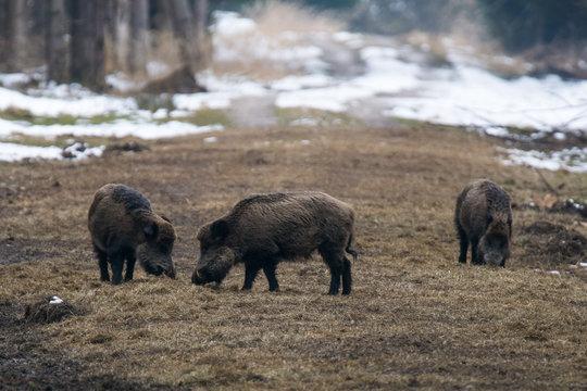Wildschwein / Wildschweine im Winter / Wald - Forstenrieder Park