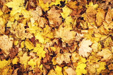 Autumn background of beautiful fallen dry leaves. Close-up.
