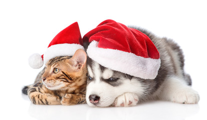Bengal kitten and Siberian Husky puppy in santa hats. isolated on white background
