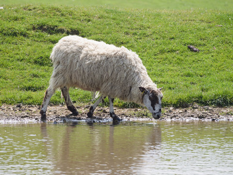 A sheep (ewe) drinking from one of the dew ponds on the south downs national park